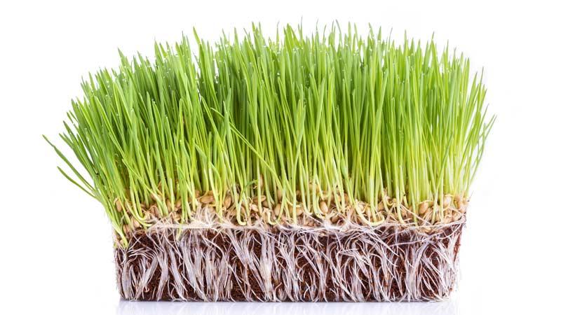 Ростки пшеницы фото Траварт travart.ru