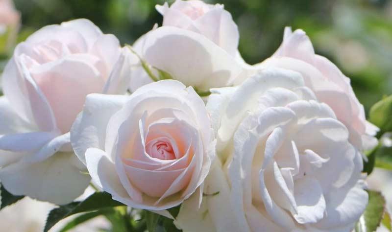 Роза Аспирин-Розе