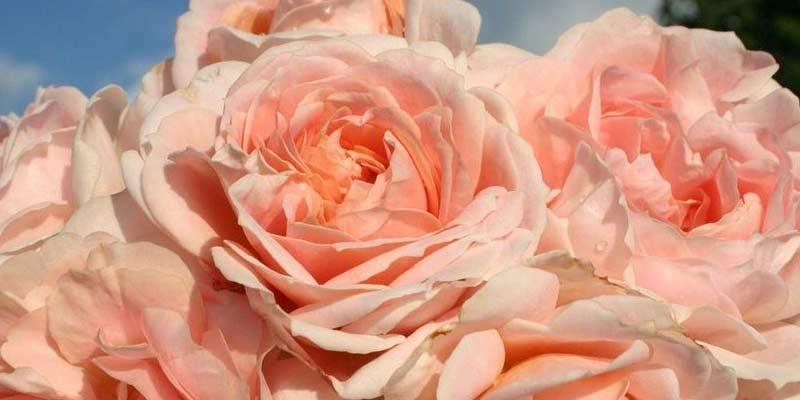 Роза Кремоза