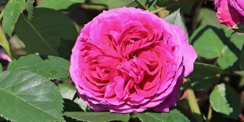 Роза Софи Луиза