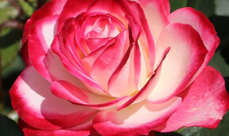 Роза Жюбиле дю Принц де Монако
