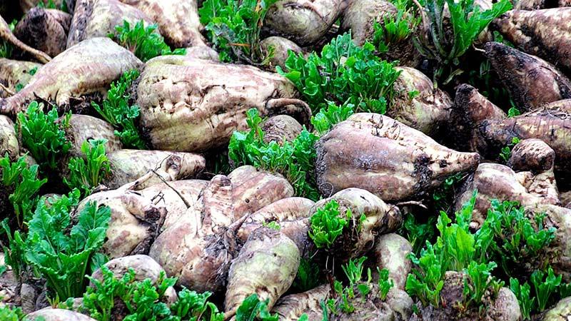 Мангольд выращивание Траварт