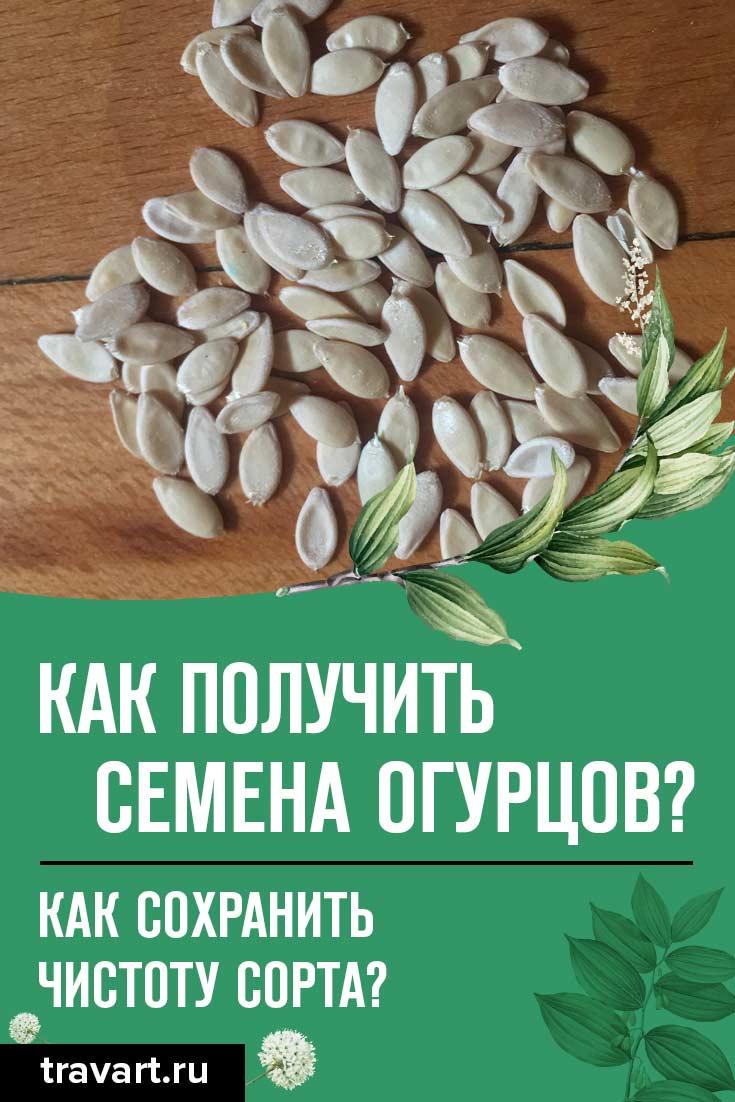 Как правильно получить семена огурцов?