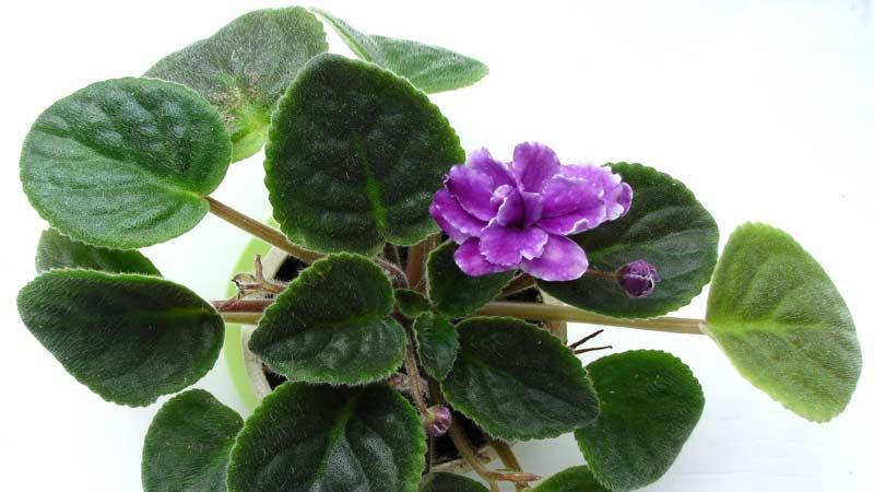 Сладкая фиалка (Viola odorata) Траварт travart.ru