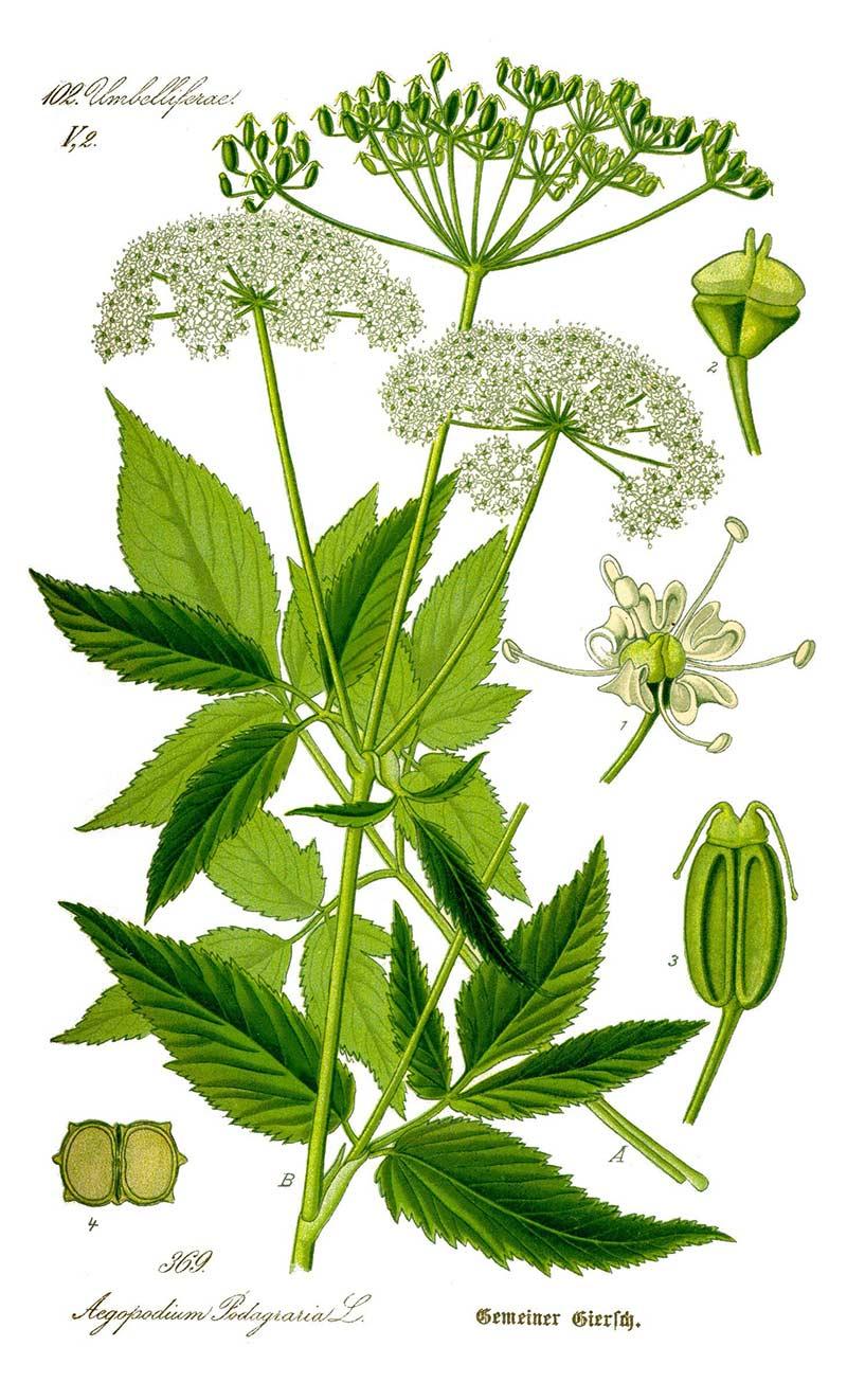 Подробное изображение растения Сныть