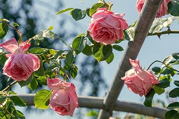 розы и солнце