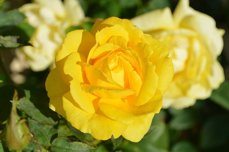 Розы, растущие на солнце