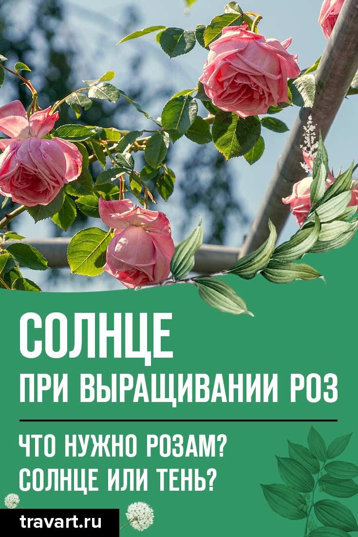 Выращивать розы на солнце или в тени?