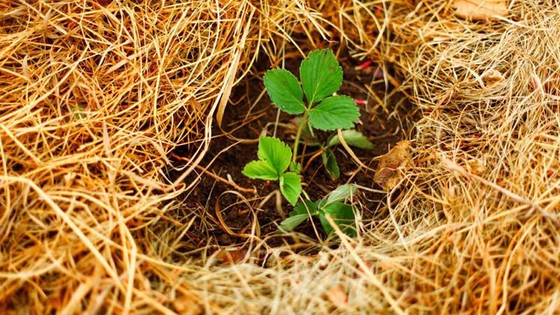 Использование сосновой хвои в огороде