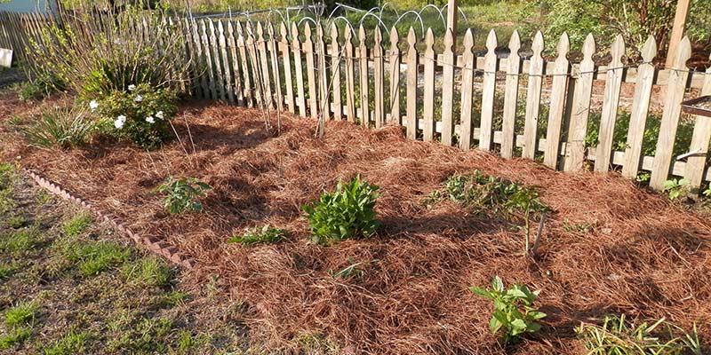 Использование хвойной мульчи в огороде