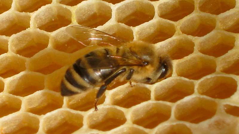 Готовые соты для меда перги пыльцы и личинок