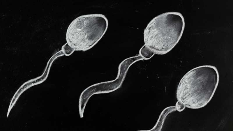 спермотозоид