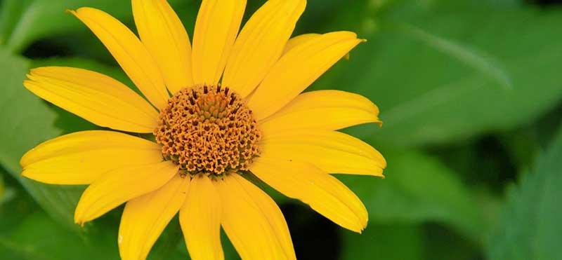 topinambur топинамбур цветы
