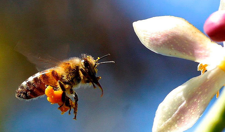 Как принимать пчелиную пыльцу ТРАВАРТ travart.ru