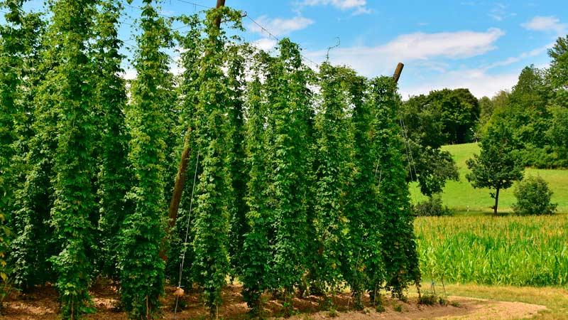 Выращивание  хмеля