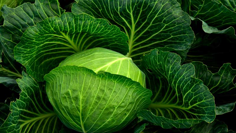 Выращивание капусты. Как собрать семена капусты