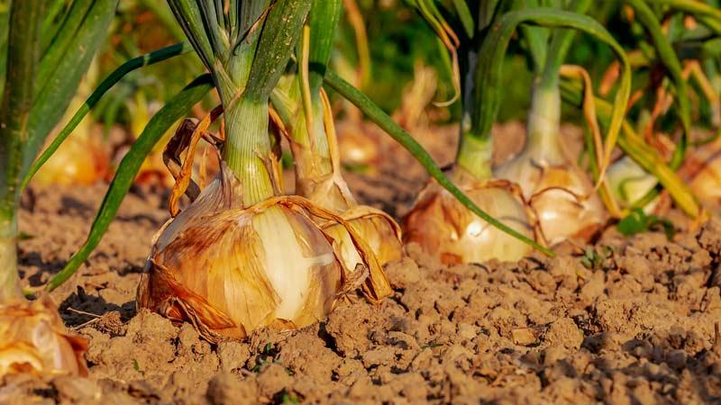 Выращивание лука севка