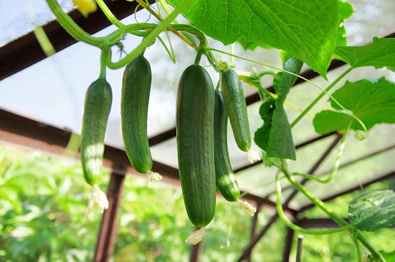 Огурцы, растущие вертикально, на шпалере