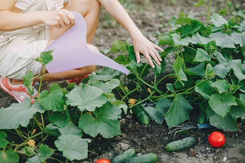 Огородница поливает огурцы