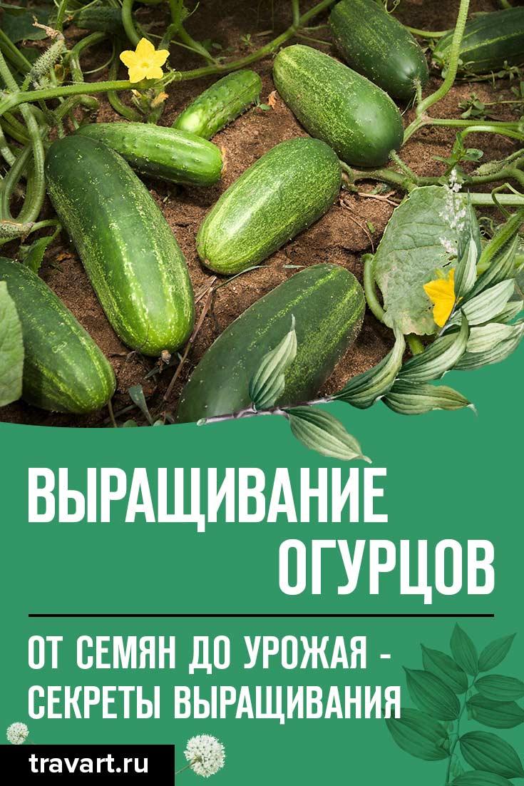 Выращивание огурцов: полная инструкция