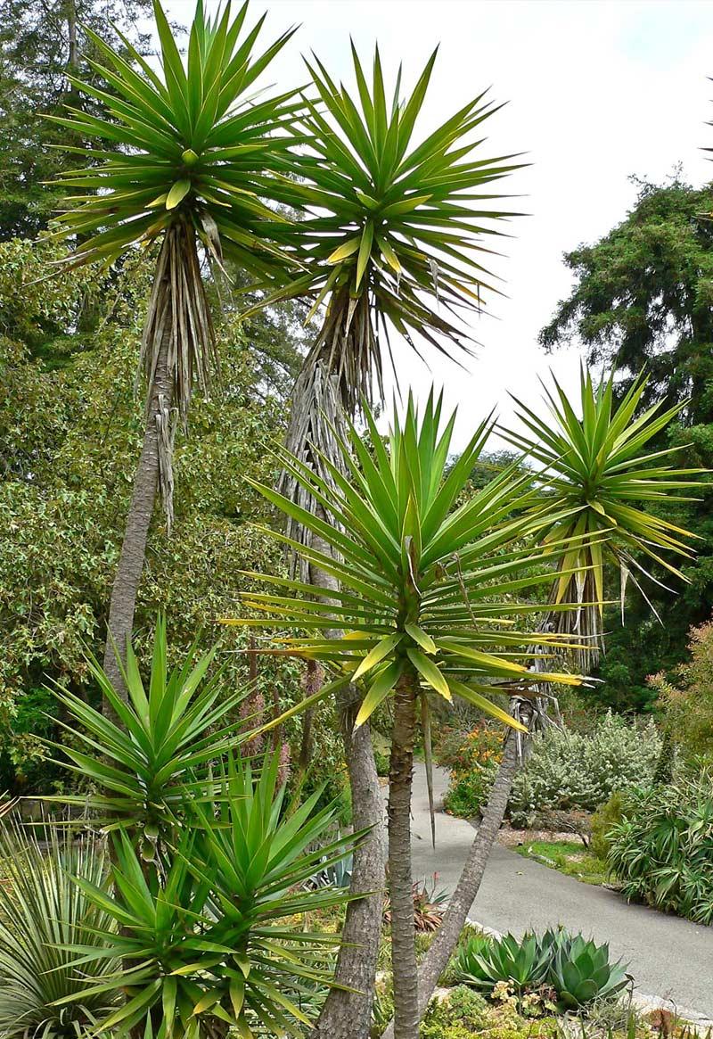 Юкка Алоэлистная (Yucca aloifolia)