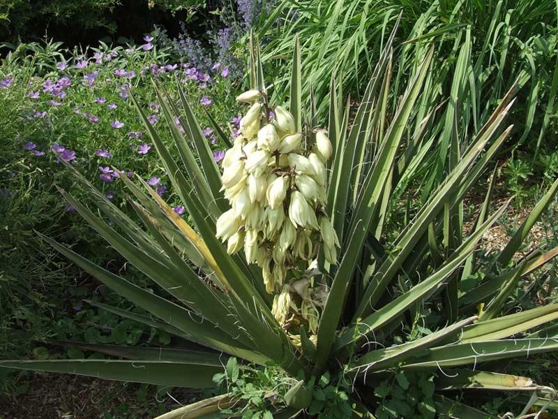 Юкка Ягодная (Yucca baccata)
