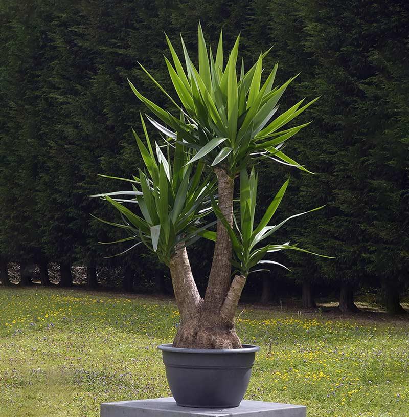 Юкка Слоновая (Yucca elephantipes)