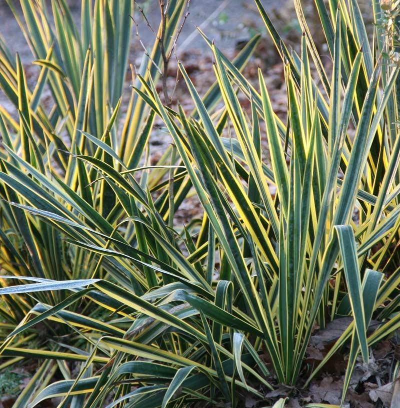 Юкка Нитчатая (Yucca filamentosa)