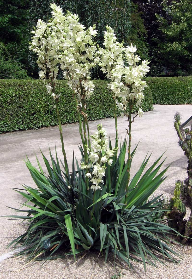 Юкка Повислая (Yucca smalliana)