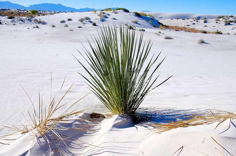 Как Юкка растёт в естественных условиях на песчаной почве