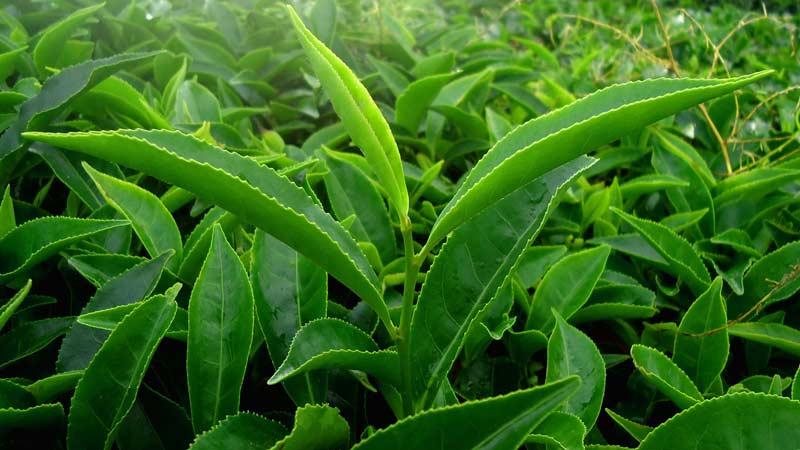 Зеленый чай листья Траварт ravart.ritravart.ri